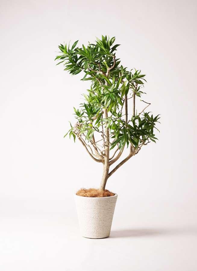 観葉植物 ドラセナ ソング オブ ジャマイカ 8号 ビアスソリッド 白 付き