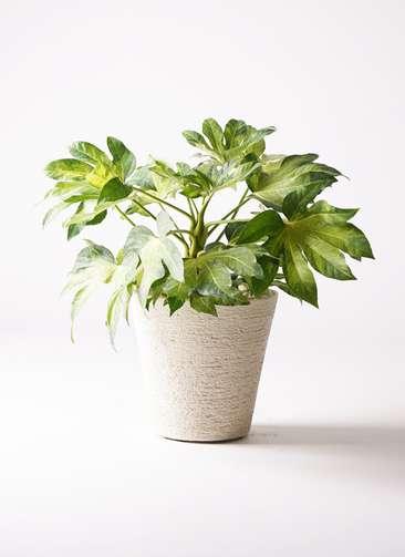 観葉植物 ヤツデ 7号 ビアスソリッド 白 付き