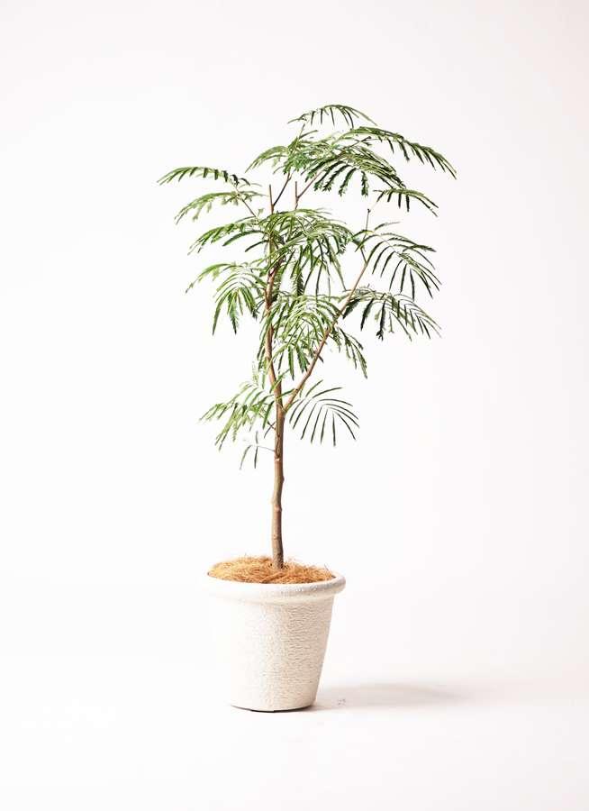 観葉植物 エバーフレッシュ 8号 ボサ造り ビアスリムス 白 付き