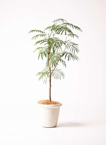 観葉植物 エバーフレッシュ 8号 ビアスリムス 白 付き