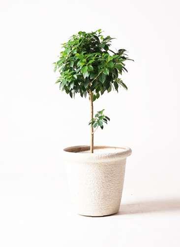 観葉植物 フィカス ナナ 7号 ビアスリムス 白 付き