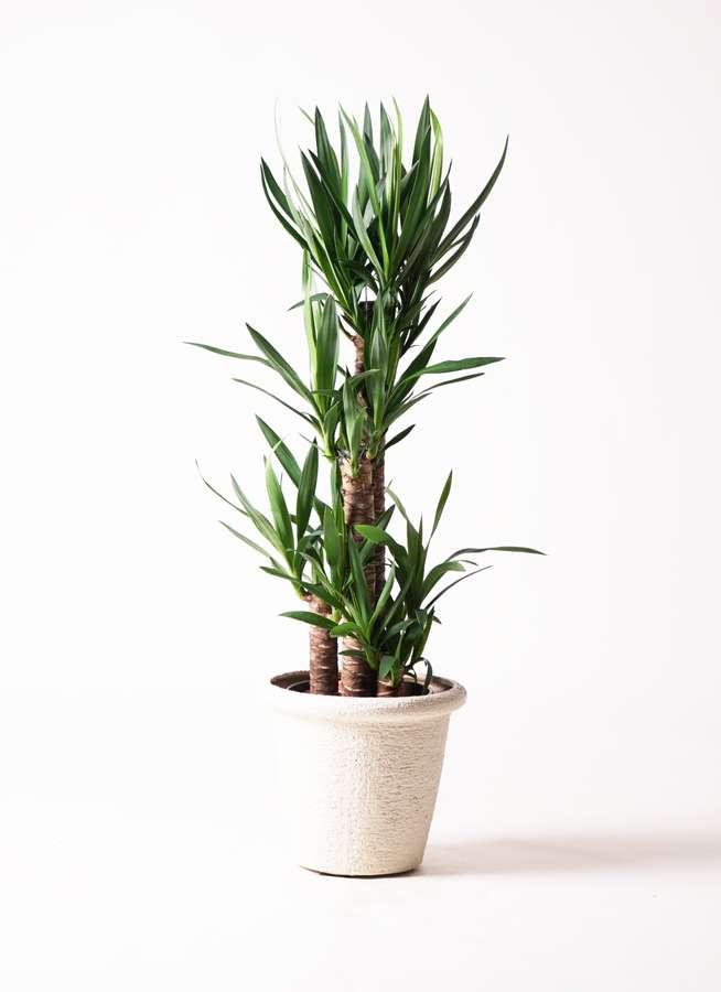 観葉植物 ユッカ 8号 ノーマル ビアスリムス 白 付き