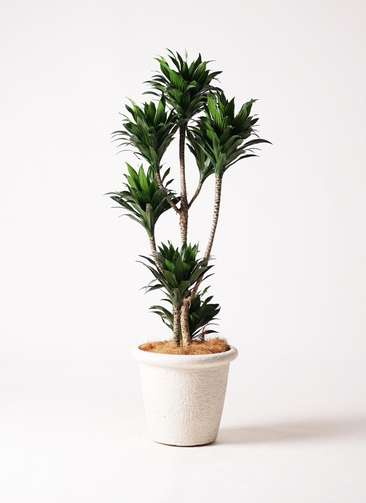 観葉植物 ドラセナ コンパクター 8号 ビアスリムス 白 付き