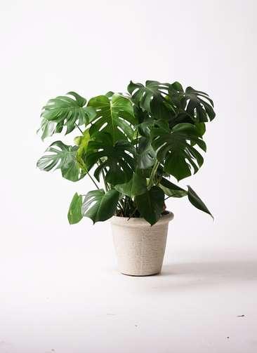 観葉植物 モンステラ 8号 ビアスリムス 白 付き