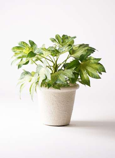 観葉植物 ヤツデ 7号 ビアスリムス 白 付き