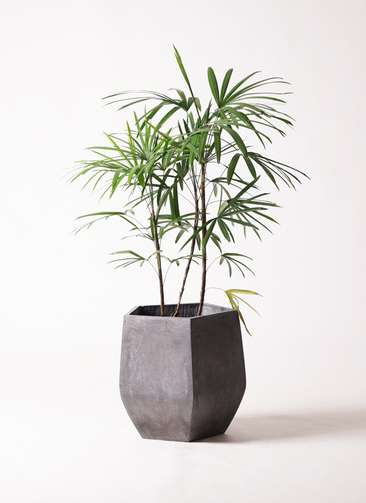 観葉植物 シュロチク(棕櫚竹) 8号 ファイバークレイ Gray 付き