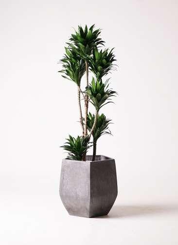 観葉植物 ドラセナ コンパクター 8号 ファイバークレイ Gray 付き