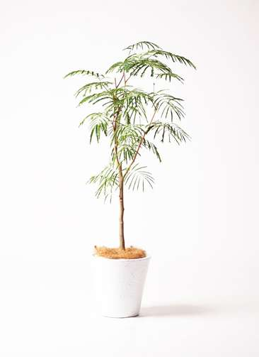 観葉植物 エバーフレッシュ 8号 フォリオソリッド 白 付き