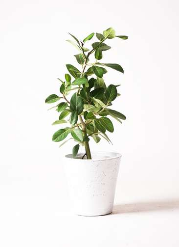 観葉植物 フィカス ベンガレンシス 7号 ストレート フォリオソリッド 白 付き