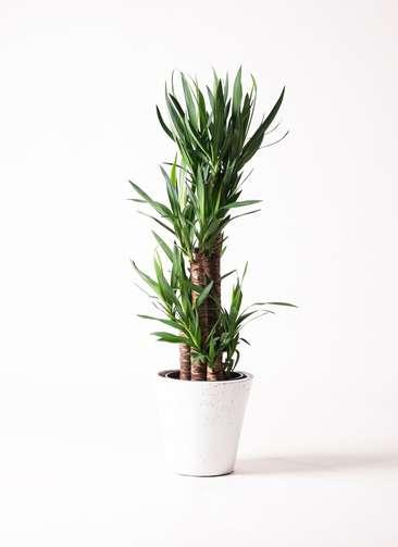 観葉植物 ユッカ 8号 ノーマル フォリオソリッド 白 付き