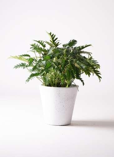 観葉植物 クッカバラ 7号 フォリオソリッド 白 付き