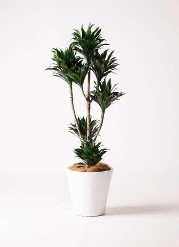 観葉植物 ドラセナ コンパクター 8号 フォリオソリッド 白 付き