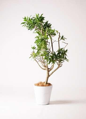 観葉植物 ドラセナ ソング オブ ジャマイカ 8号 フォリオソリッド 白 付き
