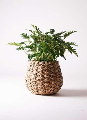 観葉植物 クッカバラ 7号 ラッシュバスケット Natural 付き
