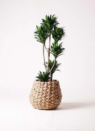 観葉植物 ドラセナ コンパクター 8号 ラッシュバスケット Natural 付き