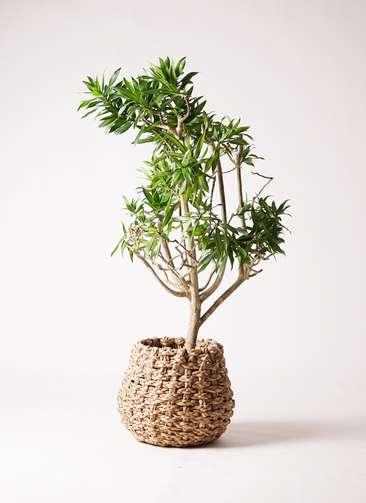 観葉植物 ドラセナ ソング オブ ジャマイカ 8号 ラッシュバスケット Natural 付き