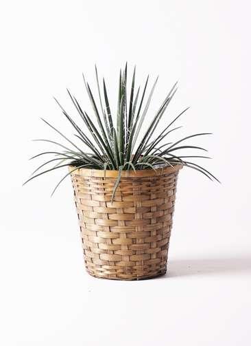 観葉植物 アガベ ジェミニフローラ 6号 竹バスケット 付き
