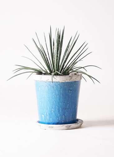 観葉植物 アガベ ジェミニフローラ 6号 アンティークテラコッタBlue 付き