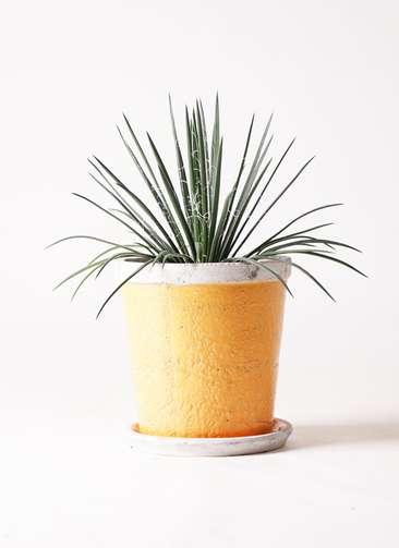 観葉植物 アガベ 6号 ジェミニフローラ アンティークテラコッタOrange 付き