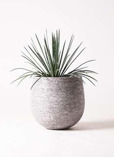 観葉植物 アガベ 6号 ジェミニフローラ エコストーンGray 付き