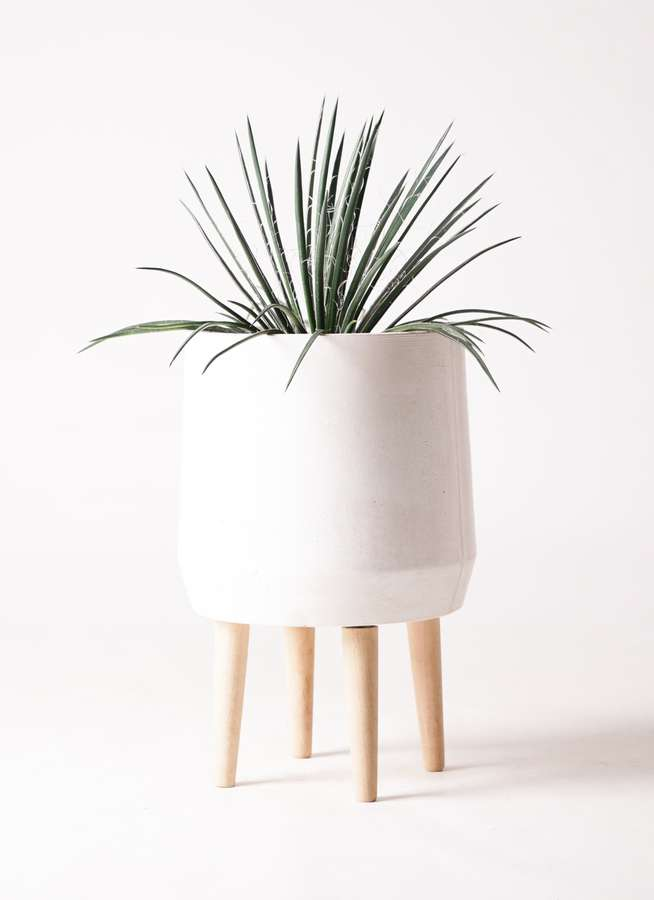 観葉植物 アガベ 6号 ジェミニフローラ ファイバークレイ white 付き