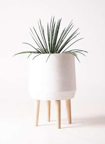観葉植物 アガベ ジェミニフローラ 6号 ファイバークレイ white 付き