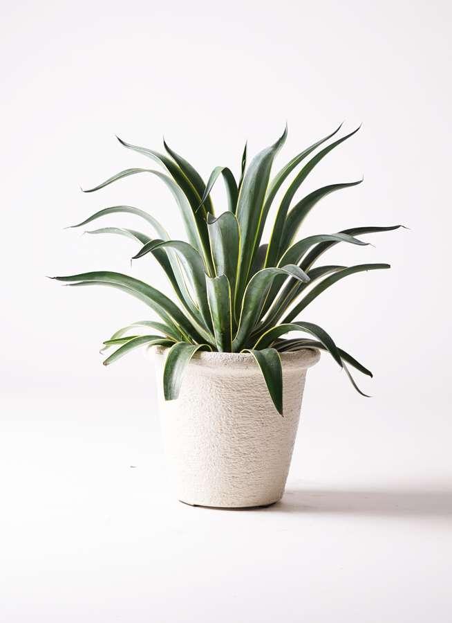 観葉植物 アガベ 7号 ベネズエラ ビアスリムス 白 付き