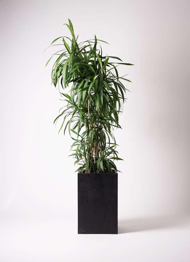 観葉植物 コルディリネ (コルジリネ) ストリクタ 10号 セドナロング 墨 付き
