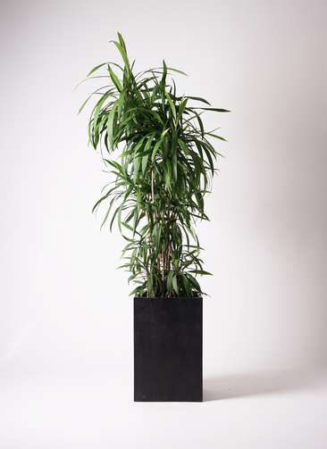 観葉植物 コルディリネ ストリクタ 10号 セドナロング 墨 付き