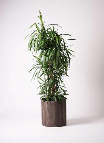 観葉植物 コルディリネ ストリクタ 10号 アルファシリンダープランター 付き