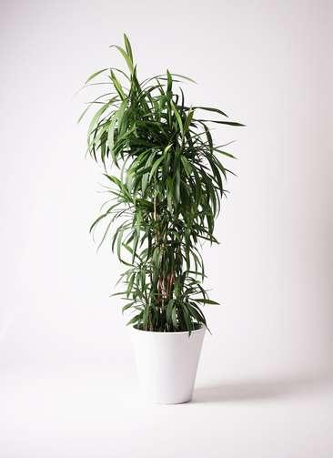 観葉植物 コルディリネ (コルジリネ) ストリクタ 10号 フォリオソリッド 白 付き
