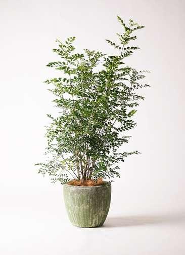 観葉植物 シマトネリコ 8号 アビスソニアミドル 緑 付き