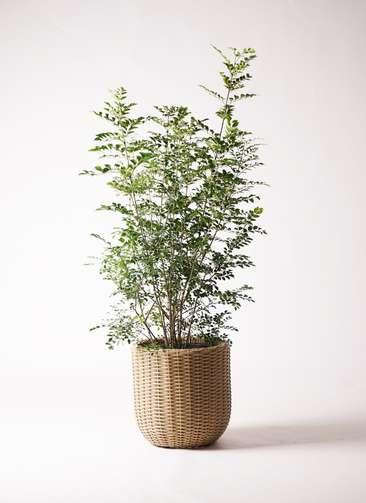 観葉植物 シマトネリコ 8号 ウィッカーポットエッグ ベージュ 付き