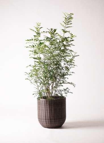 観葉植物 シマトネリコ 8号 ウィッカーポットエッグ 茶 付き
