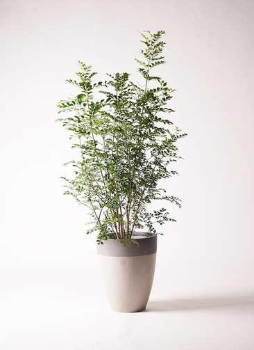 観葉植物 シマトネリコ 8号 ファイバーストーンカプリ サンディホワイト 付き