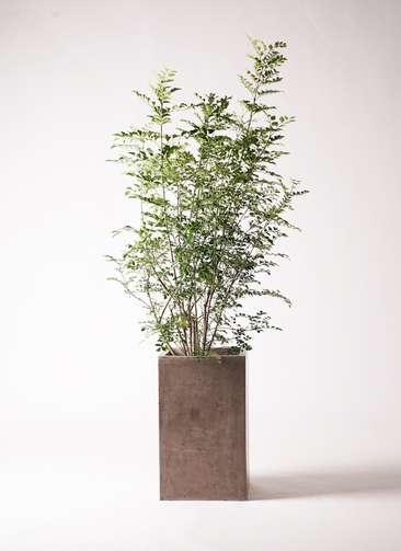 観葉植物 シマトネリコ 8号 セドナロング グレイ 付き