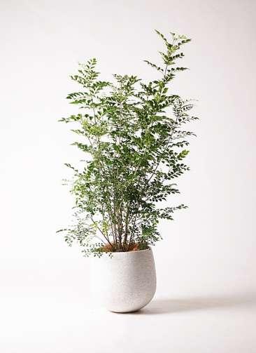 観葉植物 シマトネリコ 8号 エコストーンwhite 付き