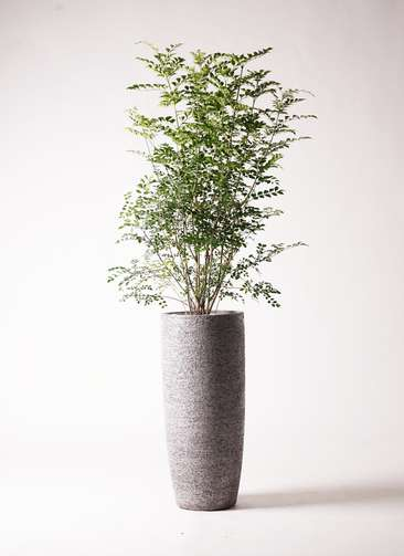 観葉植物 シマトネリコ 8号 エコストーントールタイプ Gray 付き