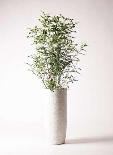 観葉植物 シマトネリコ 8号 エコストーントールタイプ white 付き