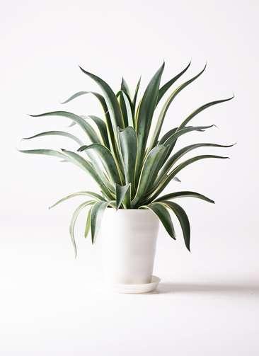 観葉植物 アガベ ベネズエラ 7号 プラスチック鉢