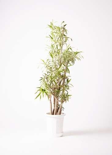 観葉植物 ドラセナ ソング オブ インディア 10号 プラスチック鉢