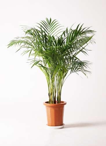 観葉植物 アレカヤシ 8号 プラスチック鉢