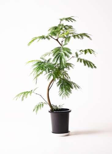 観葉植物 エバーフレッシュ 曲り8号 プラスチック鉢