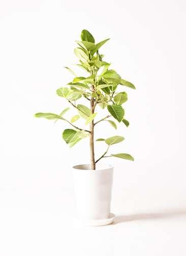 観葉植物 フィカス アルテシーマ 7号 プラスチック鉢