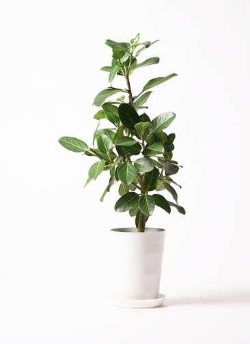 観葉植物 フィカス ベンガレンシス 7号 ストレート プラスチック鉢