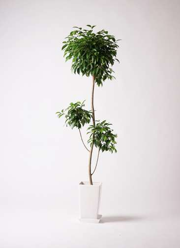 観葉植物 フィカス ベンジャミン 8号 プラスチック鉢