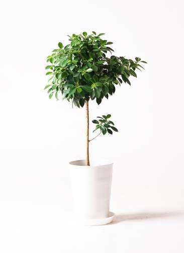 観葉植物 フィカス ナナ 7号 プラスチック鉢