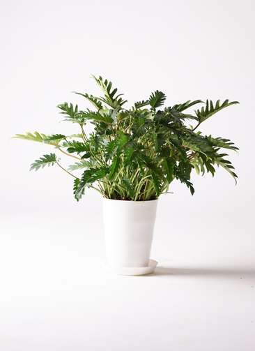 観葉植物 クッカバラ 7号 プラスチック鉢