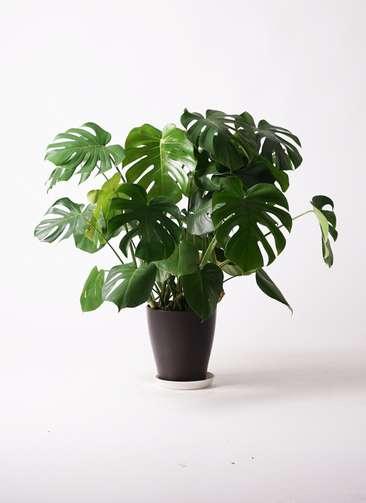 観葉植物 モンステラ 8号 プラスチック鉢