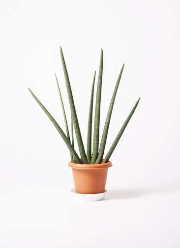 観葉植物 サンスベリア スタッキー 10号 プラスチック鉢